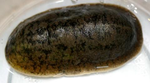 Florida leatherleaf slug (Leidyula floridana)