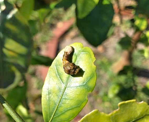 Giant Swallowtail larvae (Papilio cresphontes)