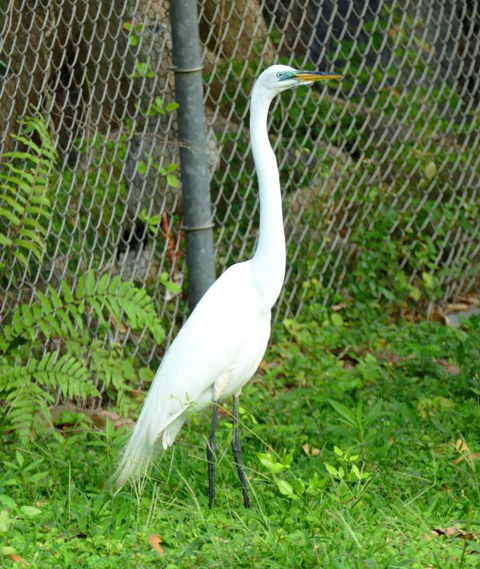 Great egret breeding color and plumage (Ardea alba)