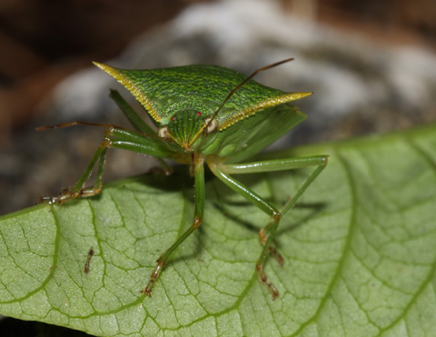 Green stink bug (Chinavia hilaris)