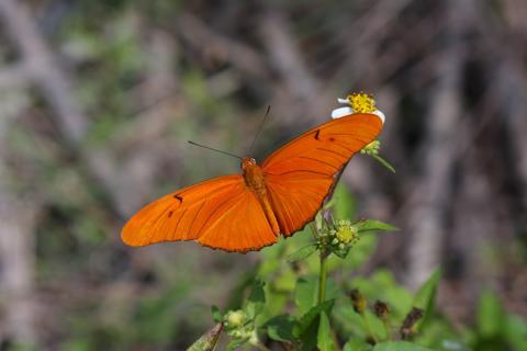 Julia heliconian (Dryas iulia)