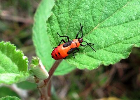 Large milkweed bug nymph (Oncopeltus fasciatus)
