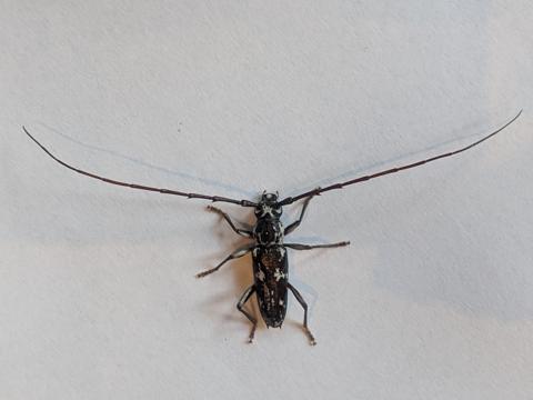 Longhorn beetle (Elaphidion irroratum)