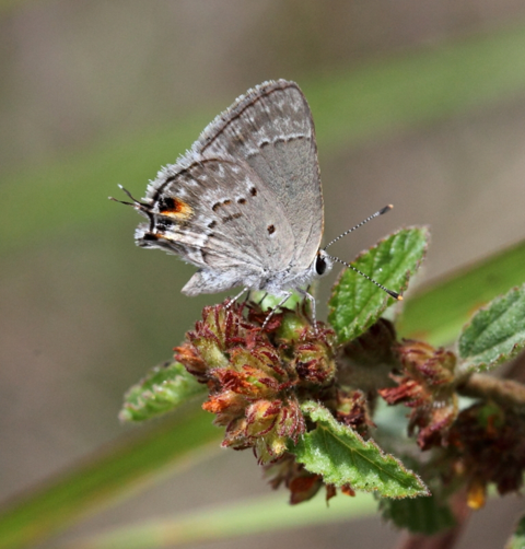 Mallow-scrub hairstreak (Strymon istapa modesta)
