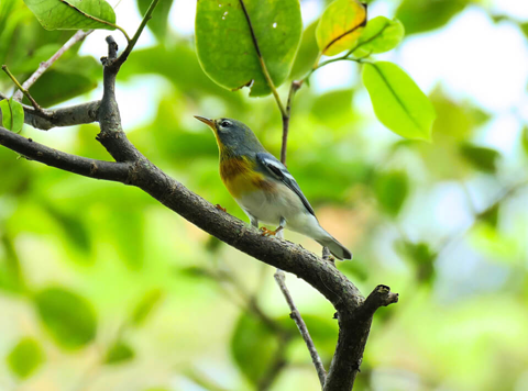 Northern Parula male (Parula americana)