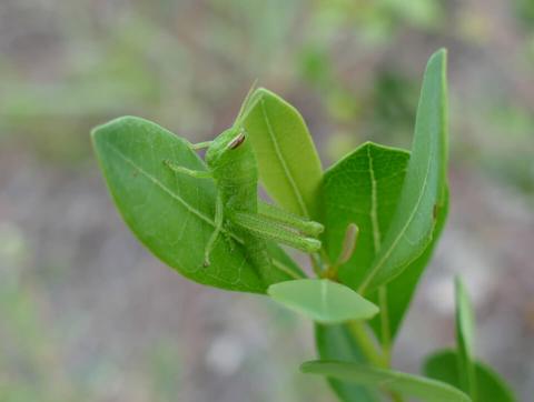 Obscure Grasshopper nymph (Schistocerca obscura)