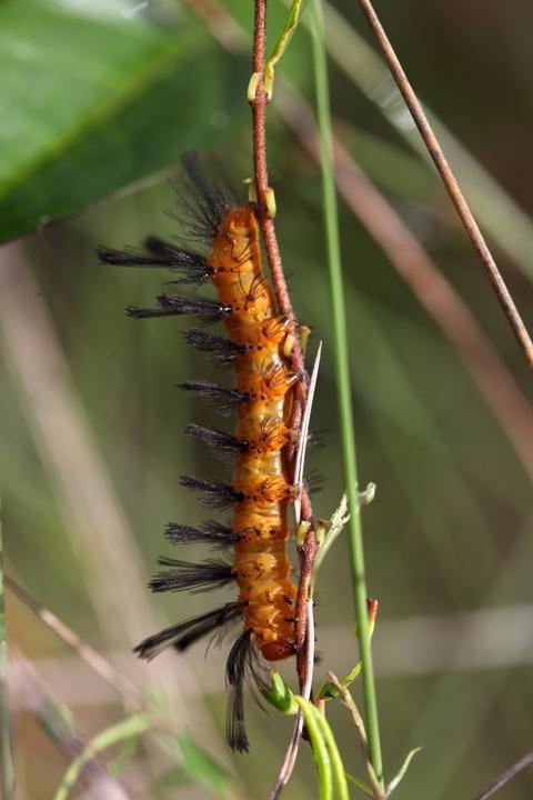 Oleander moth caterpillar (Syntomeida epilais)