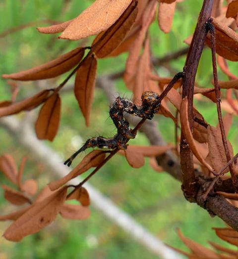 Pale-edged Selenisa larvae (Selenisa sueroides)