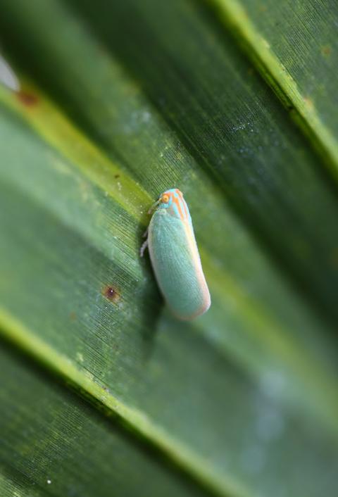 Palm flatid planthopper (Ormenaria rufifascia)