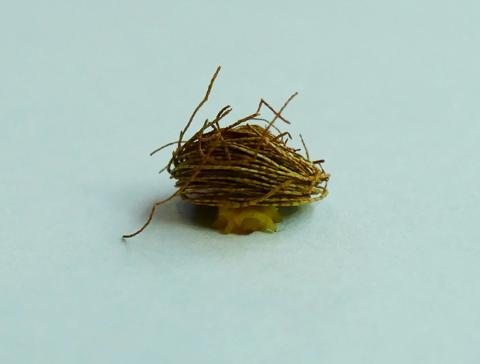 Palmetto Tortoise Beetle larvae (Hemisphaerota cyanea)