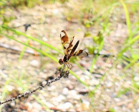 Eastern amberwing female (Perithemis tenera)