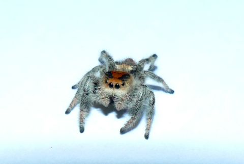 Regal Jumping Spider female orange form (Phidippus regius)