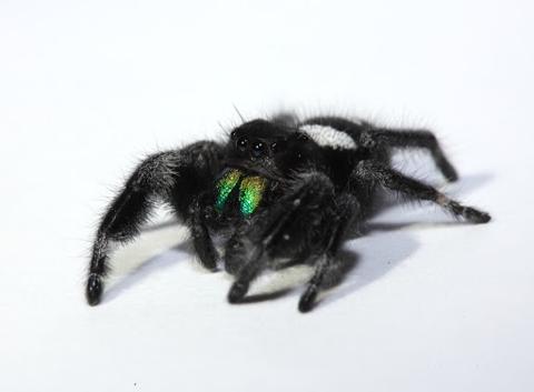 Regal jumping spider male (Phidippus regius)