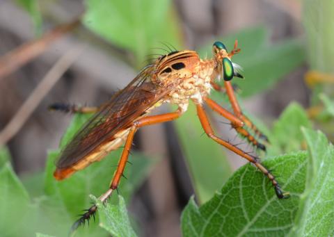 Robber fly (Diogmites esurians)