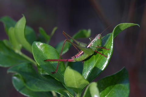 Short-winged meadow katydid (Conocephalus brevipennis)