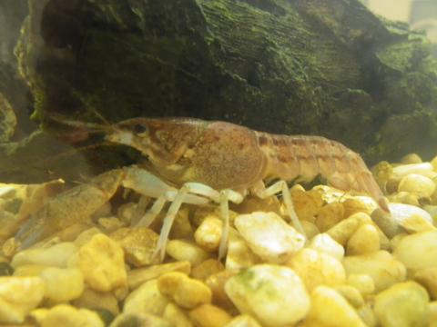 Slough crayfish (Procambarus fallax)