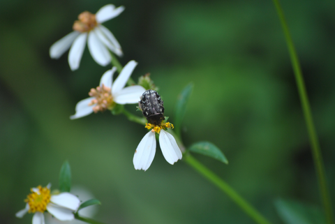 Spangled flower beetle (Euphoria sepulcralis)