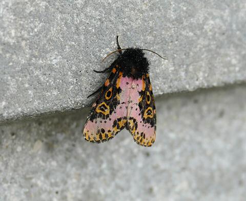 Spanish moth (Xanthopastis timais)
