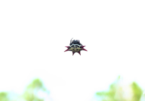 Spinybacked orbweaver female (Gasteracantha cancriformis)