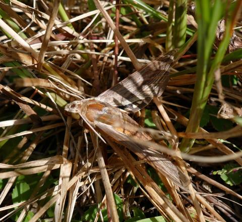 Tersa sphinx moth (Xylophanes tersa)