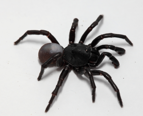 Unknown trapdoor spider (Eumidea sp.)