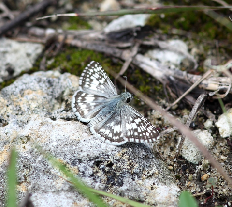 White checkered skipper (Pyrgus albescens)