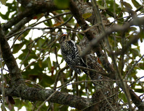 Yellow-bellied sapsucker female (Sphyrapicus varius)