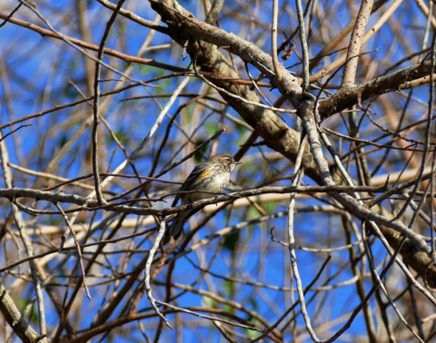 Yellow-rumped warbler female (Dendronica coronata)