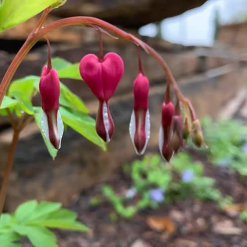 Bleeding Heart at The Patio