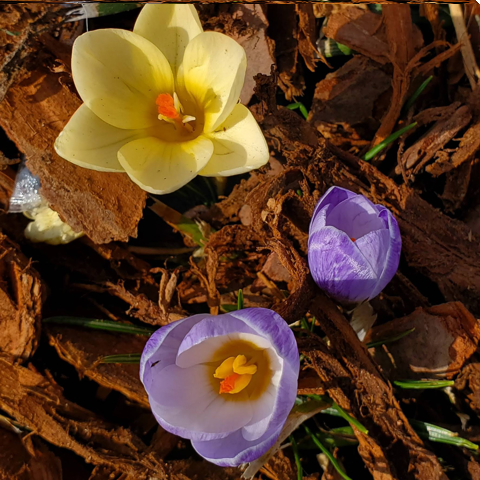 Crocus outside Redbud Cafe