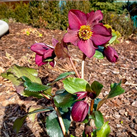 Hellebore at the Patio