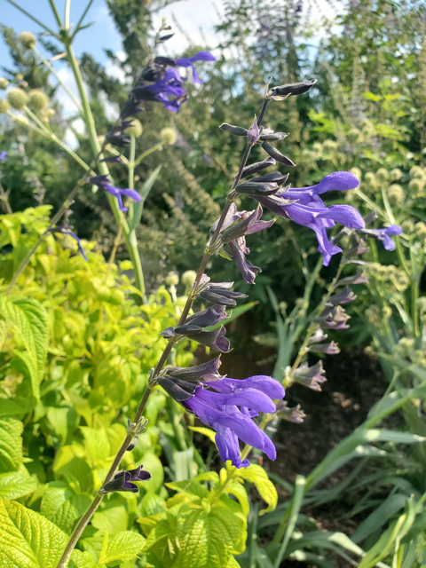 Anise Scented Sage in Sky Garden