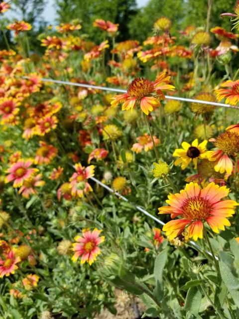 Blanketflower in Prairies
