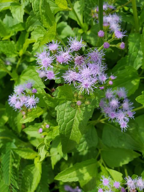 Blue Mistflower in Prairies