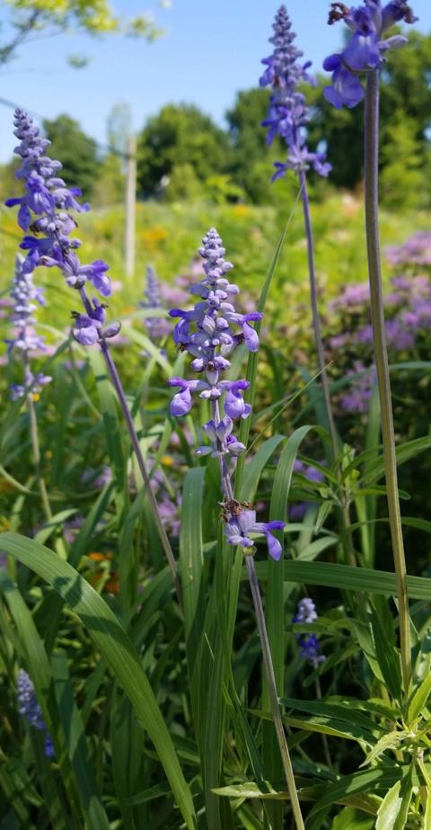 Blue Sage in Prairies