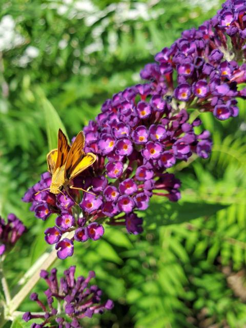 Butterfly Bush in Sky Garden