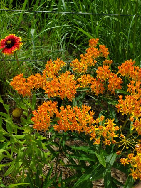 Butterfly Milkweed in Prairies