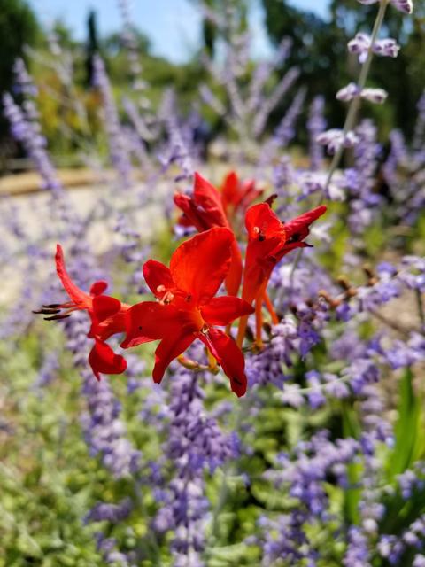 Cardinal Flower with Salvia