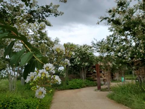 Crape Myrtle in Four Seasons Garden