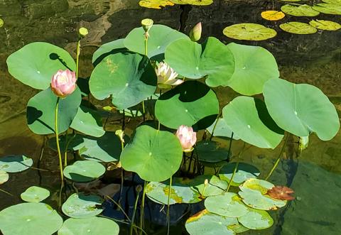 Lotus in Koi Ponds