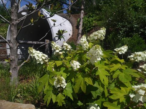 Oakleaf Hydrangea in Chapman Adventure Playground