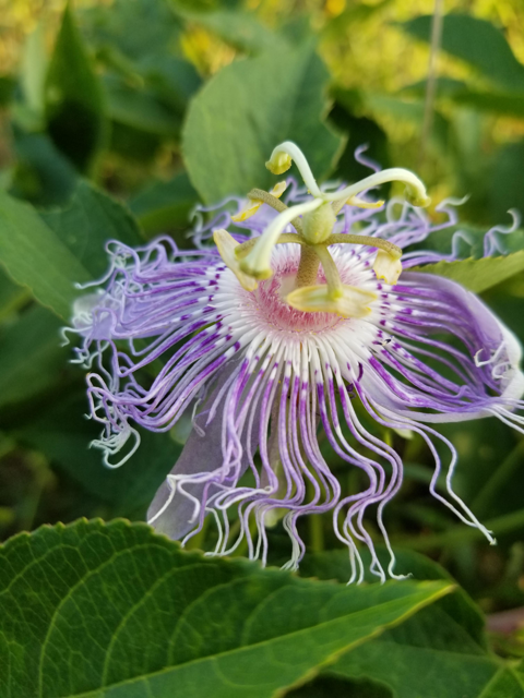Passionflower at Mist Mountain