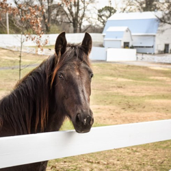 Duke is a one-year-old Tennessee Walking Horse.