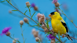 Photo of American Goldfinch