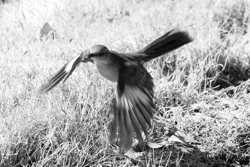 Lily Johnson-Ulrich – Best Black and White Photograph, Territorial mockingbird – Adult