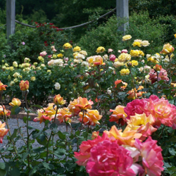 The Rose Garden bursts with color in late spring, with blooms continuing through early fall.