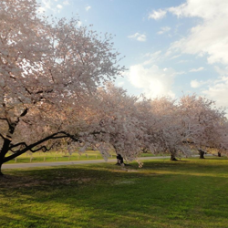 In early spring, Cherry Road bursts with Yoshino Cherry blossoms.