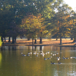 Audubon Lake in fall is home to a variety of ducks, Canada geese, and other wildlife.
