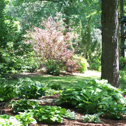 Hostas thrive in this shady, wooded area.