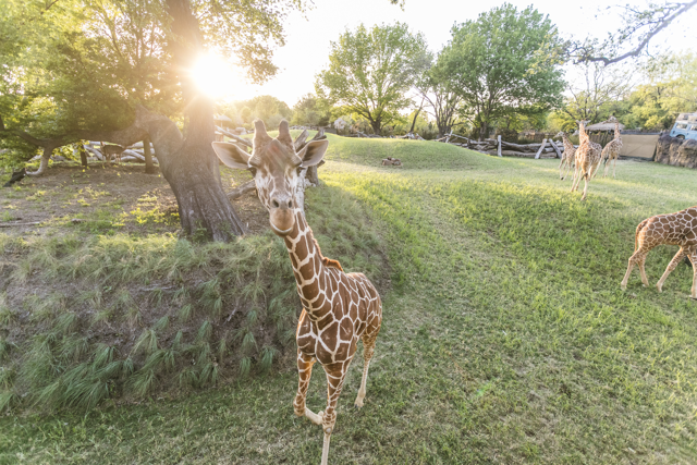 Giraffe Experience at the Fort Worth Zoo